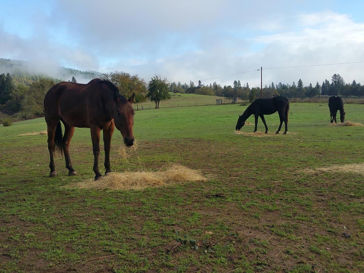 A red standard bred horses eats hey in a large field with a cloudy blue sky overhead.