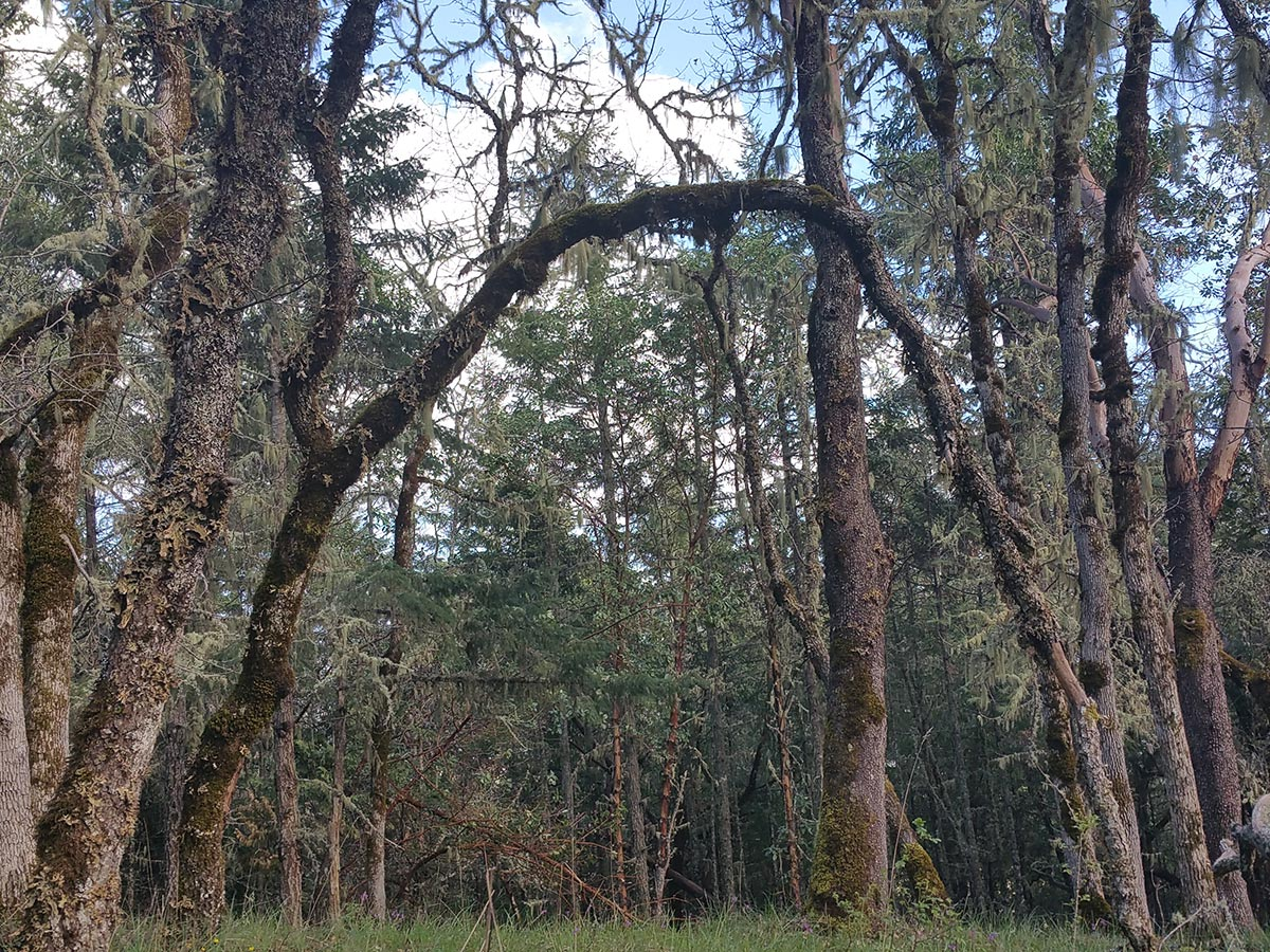 A heavily forested area features a tree that has grown in an arch