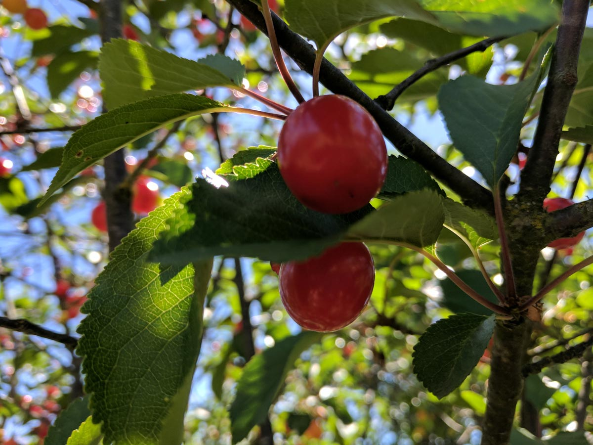 Ripe cherries hang from a tree on a sunlit day