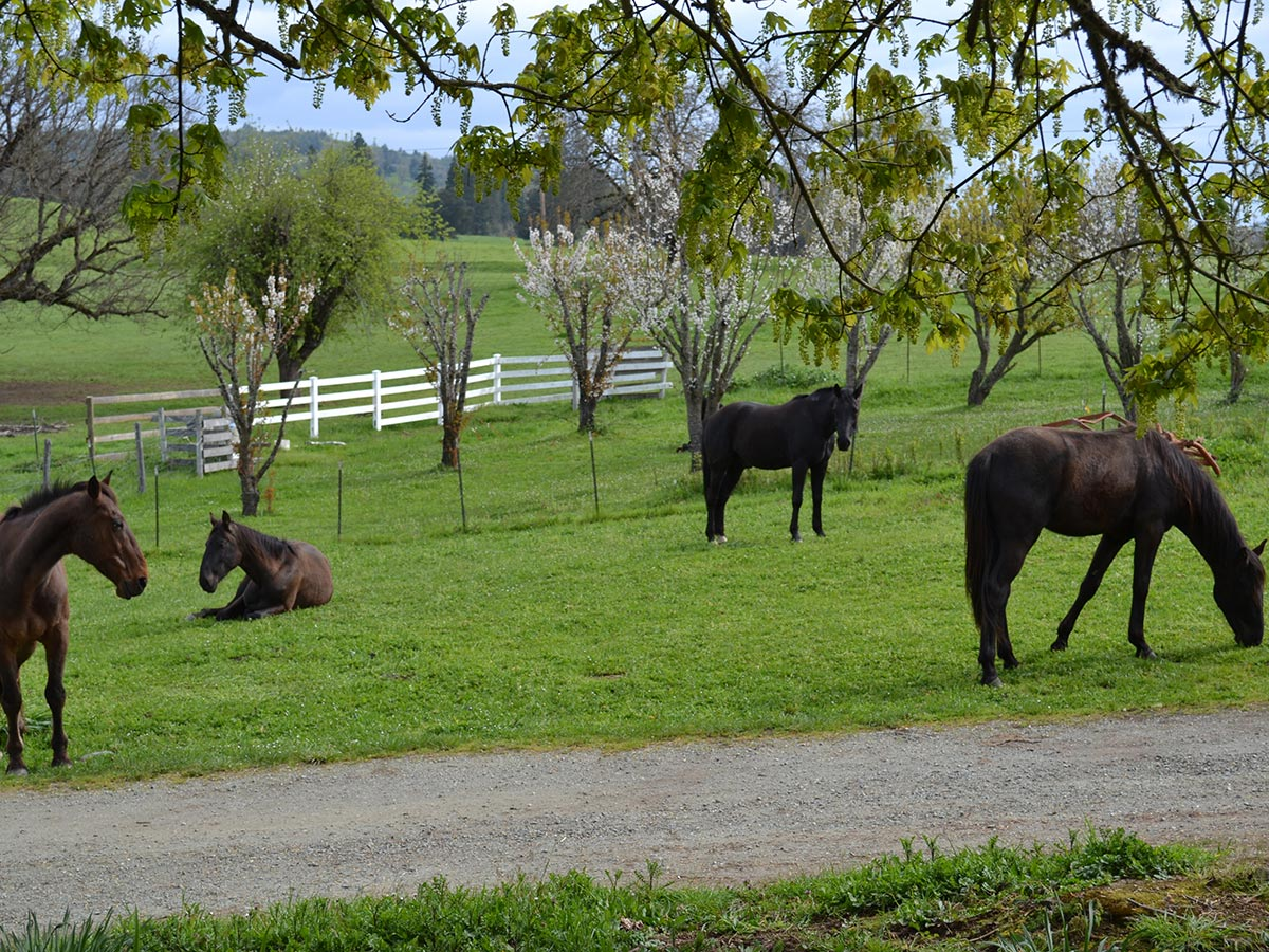 Horses lay down and stand near budding spring cherry trees