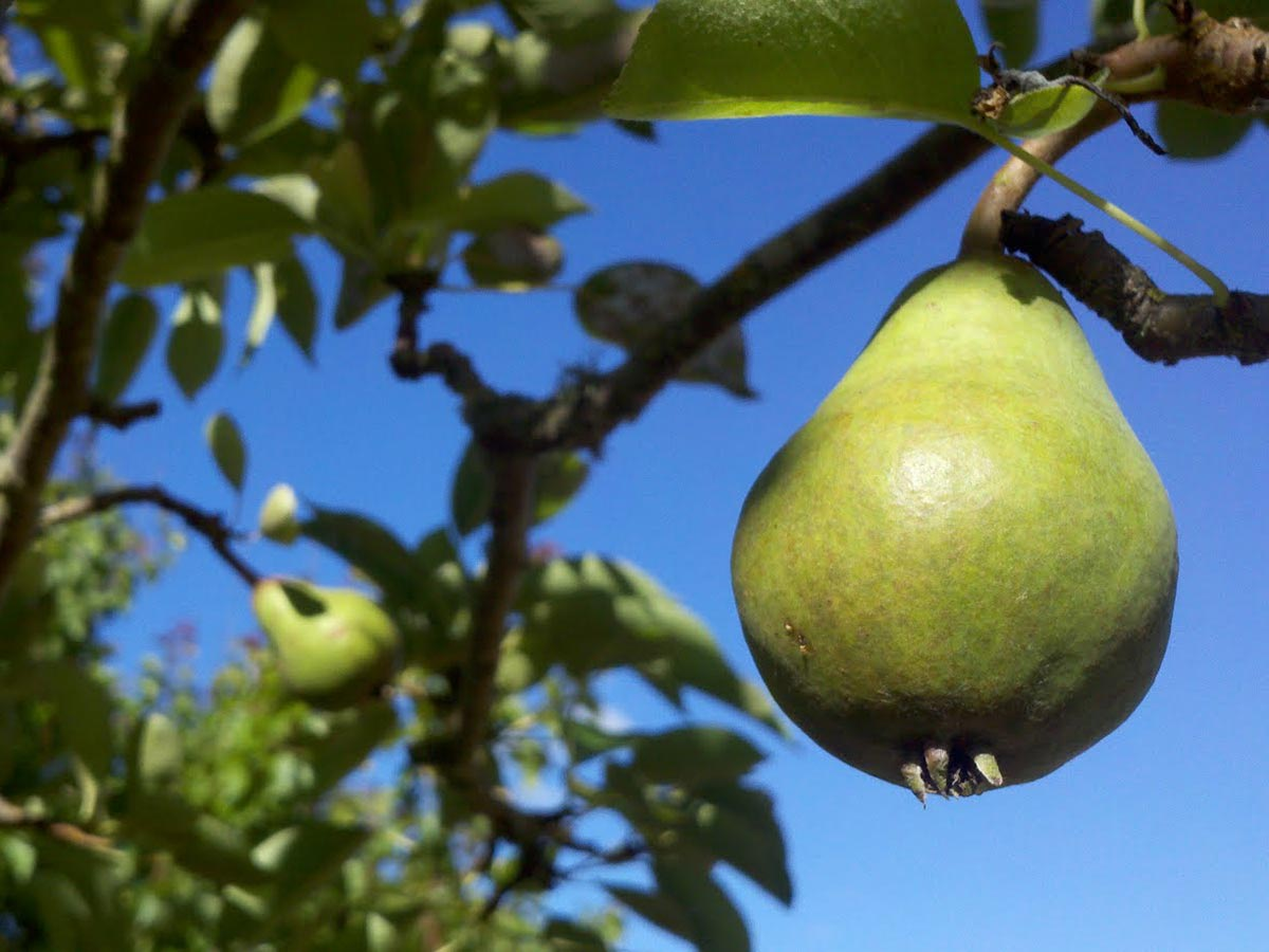A ripe pear hangs from a tall tree