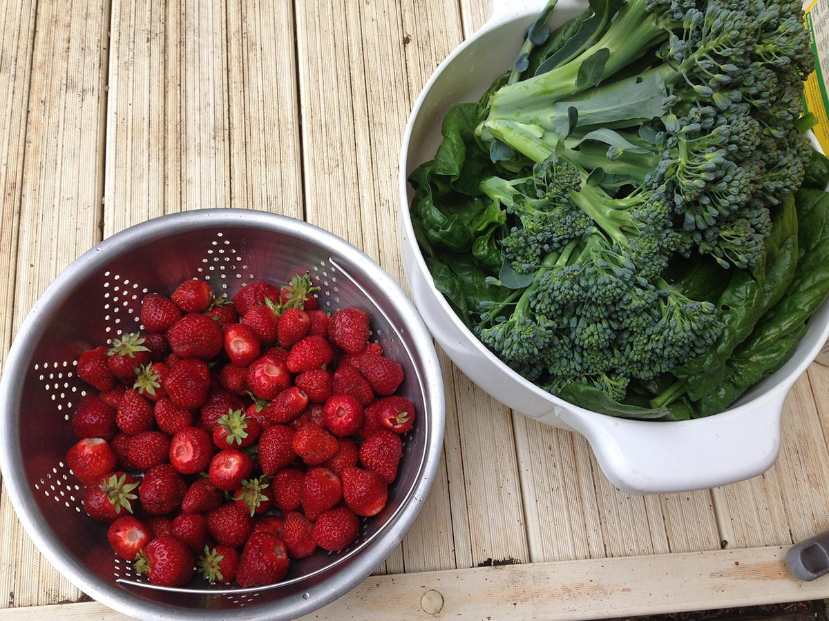 Strawberries and Broccoli harvested together