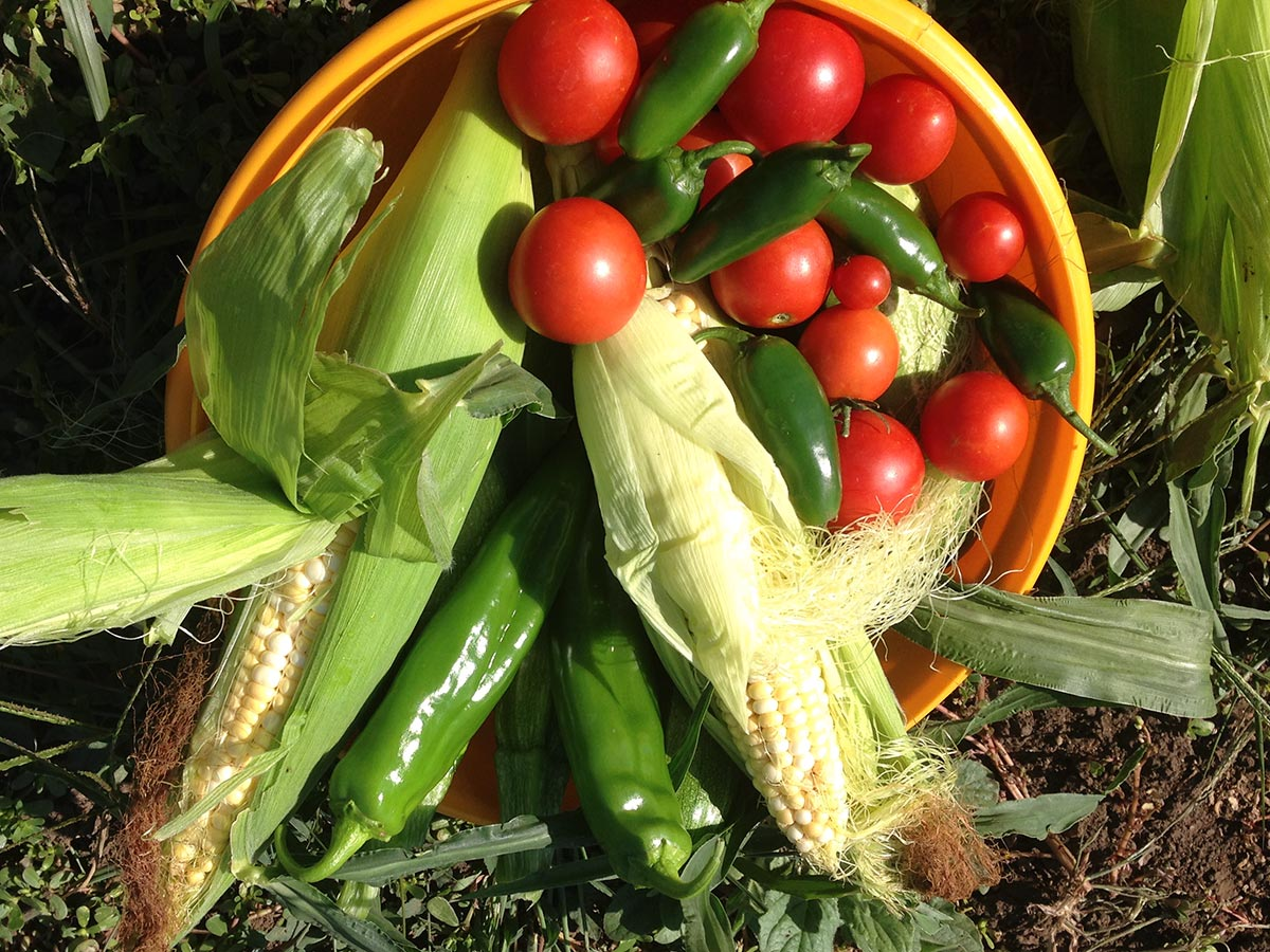 A freshly picked bowl of tomatoes, corn, and peppers