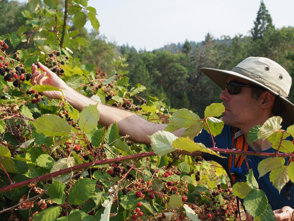 A man reaches to pick plump blackberries