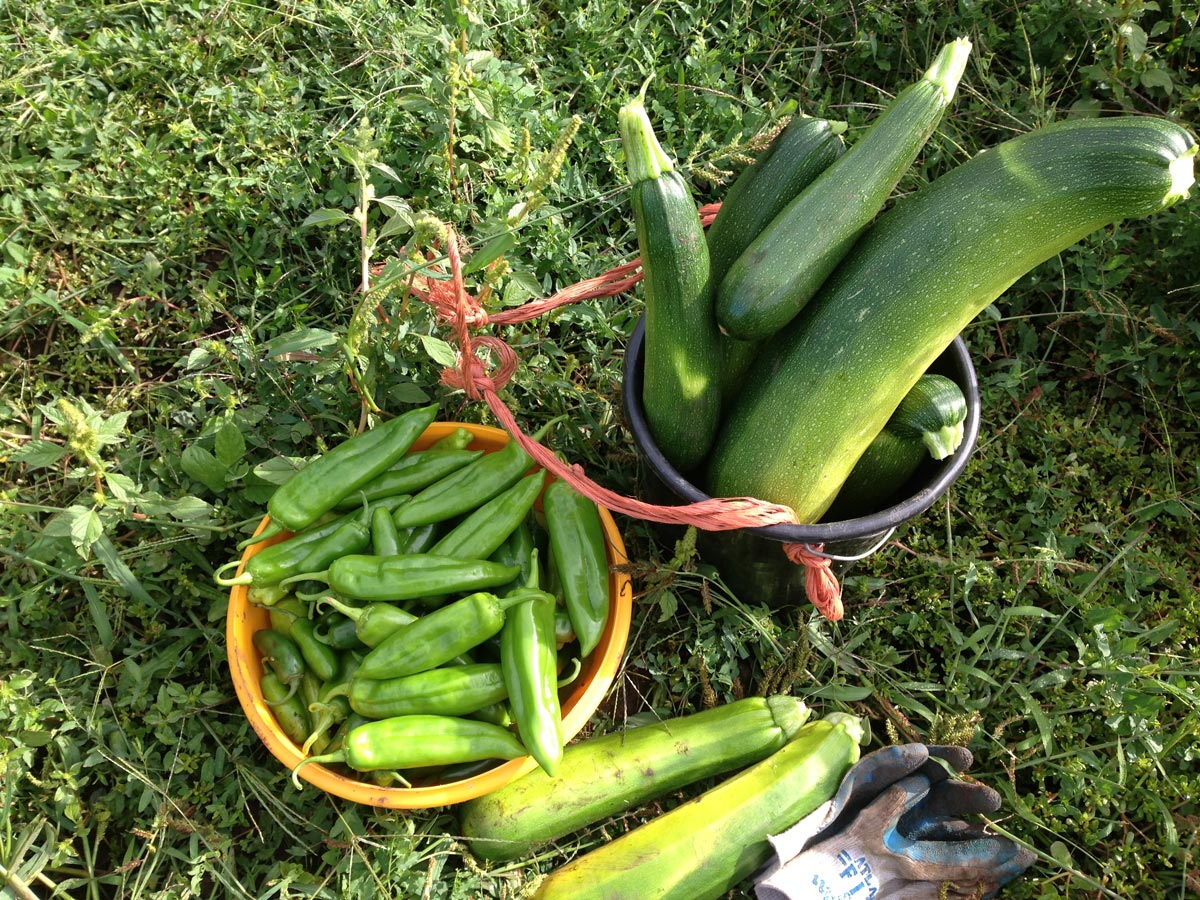Zucchini and peppers harvested together
