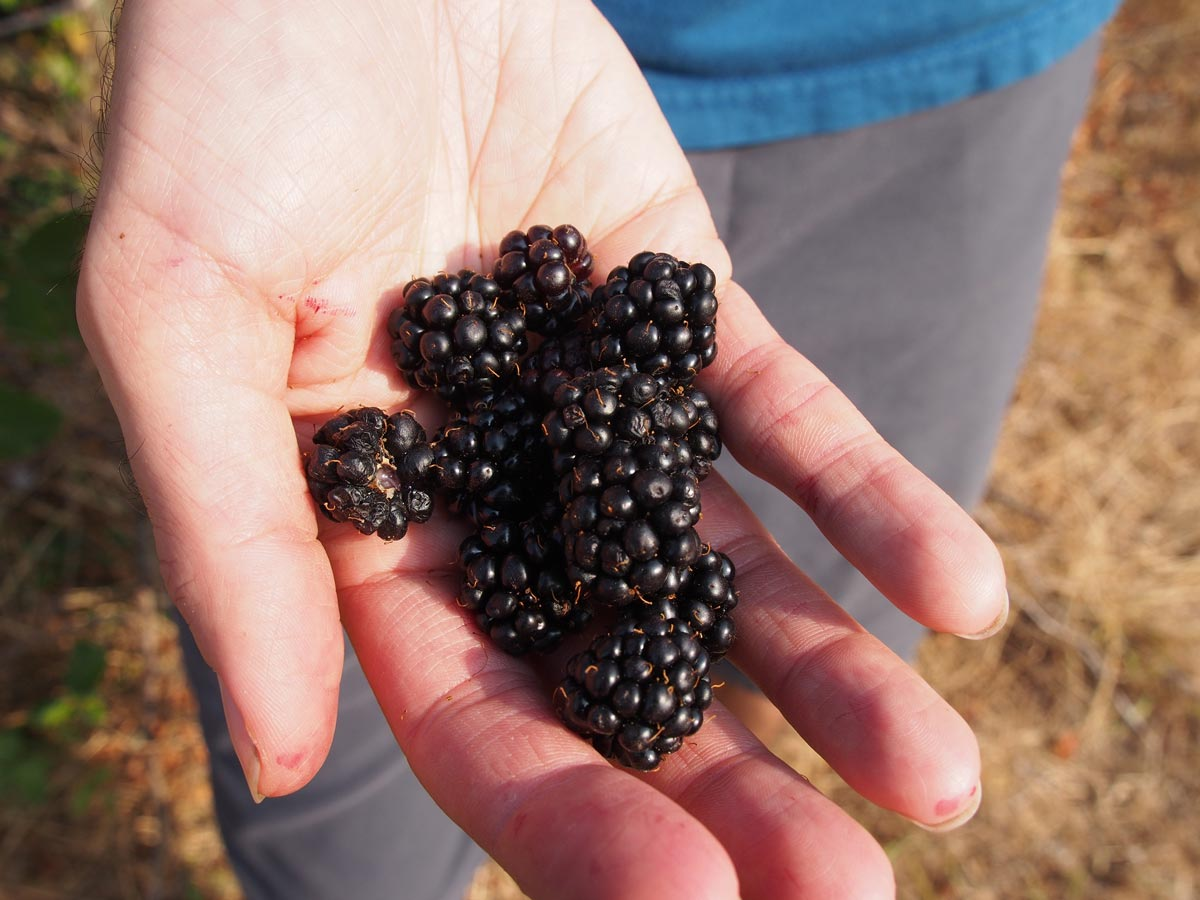 A shows a handful of lush blackberries picked from a nearby bush