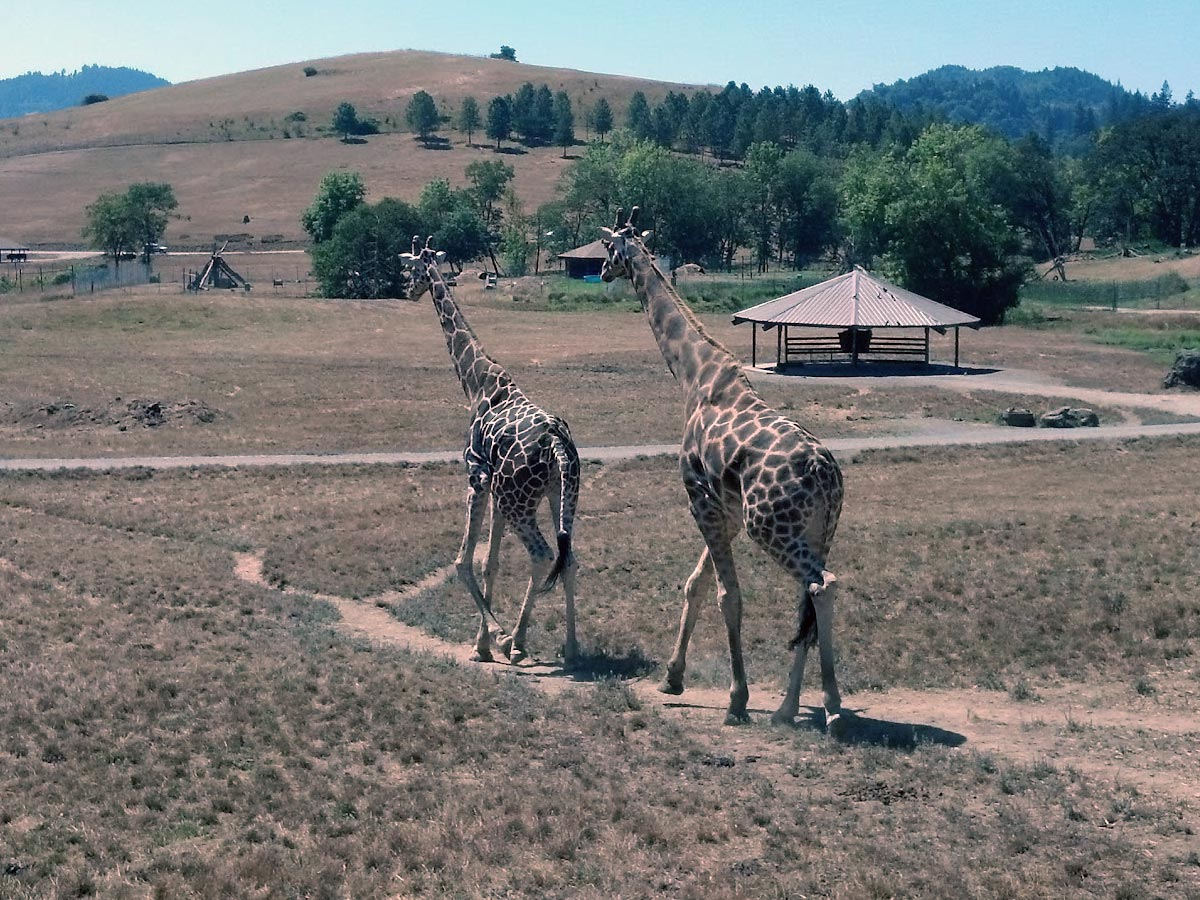 Two Giraffe walk tall along an open plain