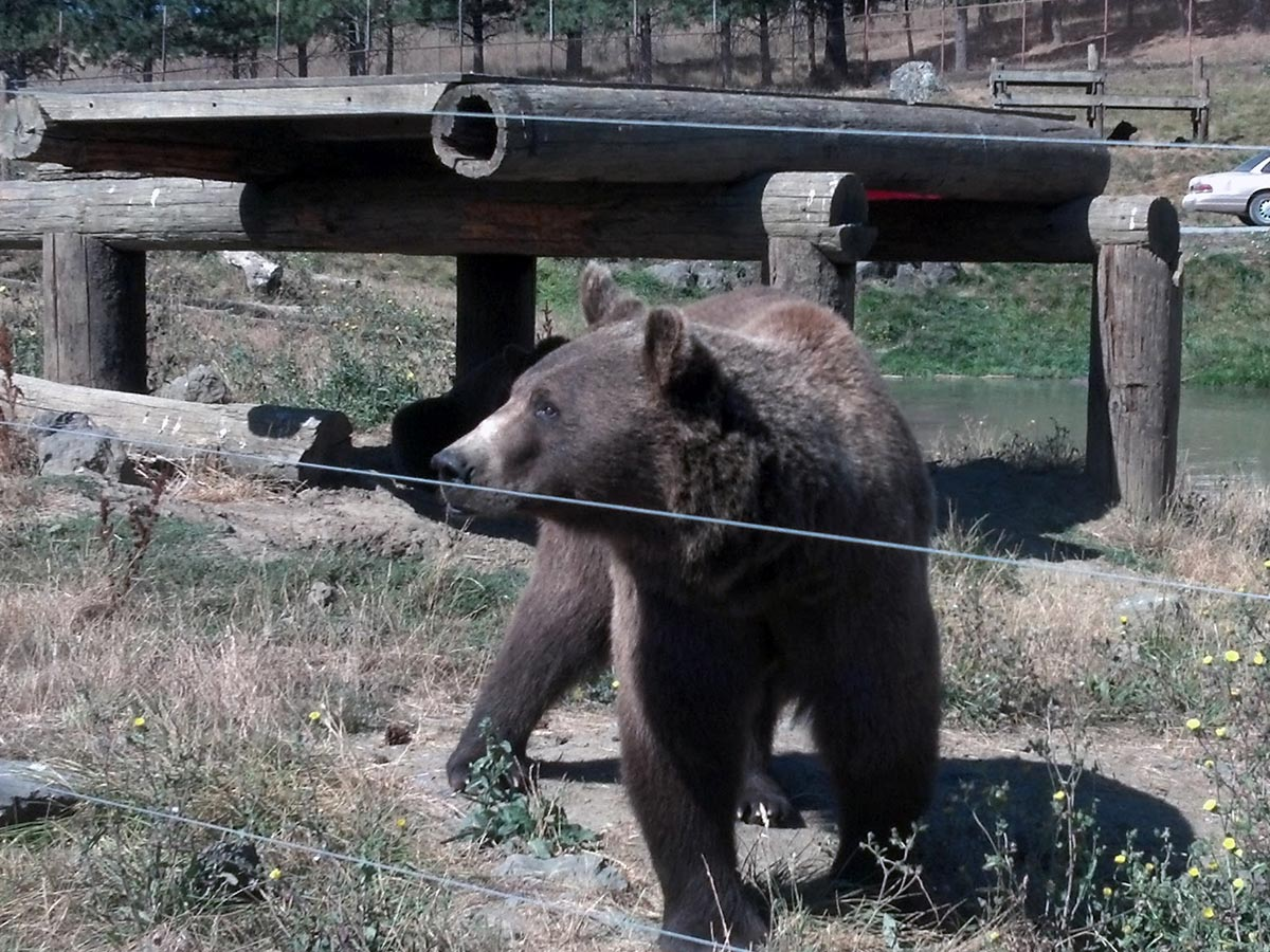A bear walks along a fence